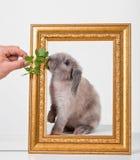 Gris décoratif de lapin dans un cadre de cadre d'or Photos libres de droits