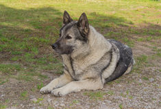 Gris d'Elkhound de Norvégien photo stock
