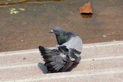 Gris de colombe Images stock