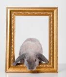 Gris decorativo del conejo en un marco del marco del oro Fotos de archivo