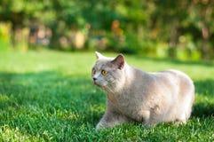 Gris del gato Foto de archivo