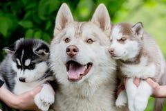 Gris fornido de la diversión con dos pequeños perritos Imágenes de archivo libres de regalías