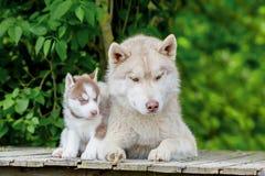 Gris fornido Varón adulto con un perrito joven Imágenes de archivo libres de regalías