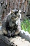 Gris, Fuffy Tabby Cat foto de archivo