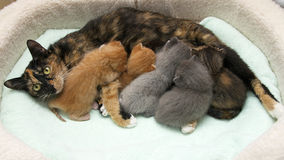 Gris mullido borroso gatito viejo del gato atigrado de 4 semanas que enarbola sobre el top de Fotografía de archivo libre de regalías