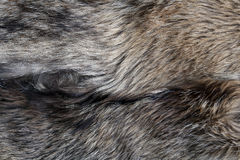 Gris natural de la textura de la piel del lobo Imágenes de archivo libres de regalías