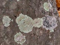 Gris, vert, noir, lichen sur la roche, combinaison symbiotique d'un champignon avec algues ou bactérie, fin, macro dans la chute  photographie stock libre de droits