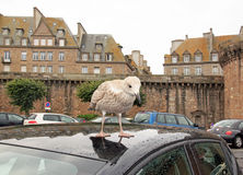 Grisard, young gull landed on the roof of a car (St-Malo Brittany, France) Stock Image