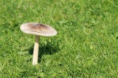Grisette гриба Стоковые Изображения