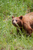 Grisly bear in summer. View of the grisly bear in grass during summer Royalty Free Stock Photos