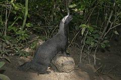 Grison, Huron or bushdog, Galictis vittata. Grison or Huron or bushdog, Galictis vittata, single mammal on floor, Belize Stock Photos