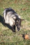 Grisons Striped коза Стоковое Фото