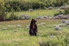 Grisslybjörn 399 Fotografering för Bildbyråer