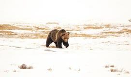Grisslybjörn i de hårda vårvindarna Arkivfoto
