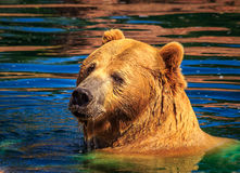 Grisslybjörn i färgrikt nedgångdammvatten som kastar en blick över skuldra Royaltyfri Foto
