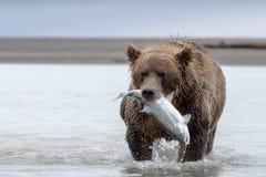 Grisslybjörn med en stor lax arkivfoto