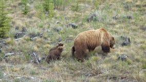 Grisslybjörn med 2 gröngölingar Arkivfoto