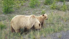 Grisslybjörn med gröngölingar Royaltyfria Foton