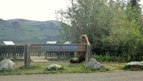 Grisslybjörn med gröngölingar Arkivbild