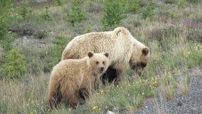 Grisslybjörn med gröngölingar Arkivfoton