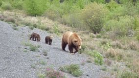 Grisslybjörn med gröngölingar Royaltyfri Bild