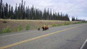 Grisslybjörn med gröngölingar Fotografering för Bildbyråer