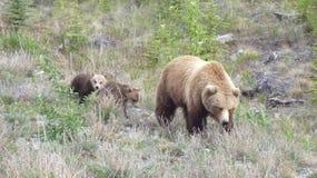 Grisslybjörn med gröngölingar Royaltyfri Foto