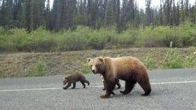 Grisslybjörn med gröngölingar Arkivfoto