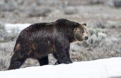 Grisslybjörn på den insnöade tidiga våren Royaltyfria Foton