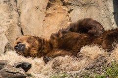 Grisslybjörn som har en ta sig en tupplur royaltyfri bild