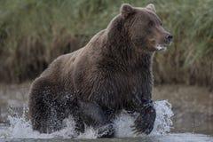 Grisslybjörn som jagar laxar Arkivfoto