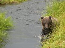 Grisslybjörn som söker efter laxen Royaltyfri Fotografi