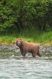 Grisslybjörn ursusarctos, silvertipbjörn, Alaska Arkivfoto