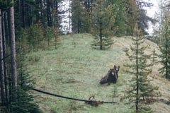Grisslybjörnar i Jasper National Park Royaltyfri Fotografi