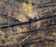 Grisslybjörnen mumsar Arkivfoton