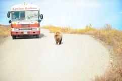 Grisslybjörnen passerar en buss, Denali NP, Alaska, USA Royaltyfri Bild