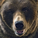 Grisslybjörnhuvudskott Arkivfoton