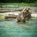 grisslybjörnskakavatten efter ett bad i sjön Royaltyfri Bild
