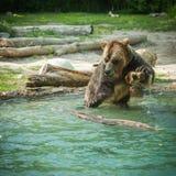 grisslybjörnskakavatten efter ett bad i sjön Arkivfoto