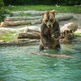 grisslybjörnskakavatten efter ett bad i sjön Royaltyfria Foton