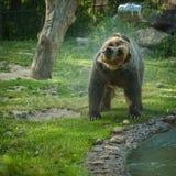 grisslybjörnskakavatten efter ett bad i sjön Arkivbilder