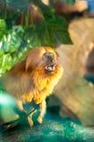 Gritar do macaco do tamarin do leão, estando na plataforma de madeira entre as árvores no parque zoológico fotos de stock