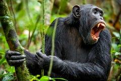 Gritaria um chimpanzé irritado Imagem de Stock Royalty Free