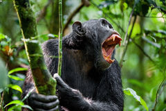 Gritaria um chimpanzé irritado Foto de Stock