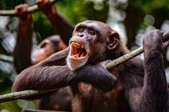 Griterío del chimpancé Fotografía de archivo