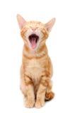 Griterío del gatito anaranjado del tabby Imagenes de archivo