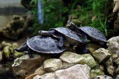 Grito de la tortuga Fotos de archivo