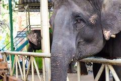 Grito do elefante Fotografia de Stock Royalty Free