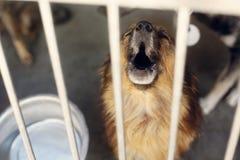 Grito gritador del perrito triste en la jaula del refugio, mome emocional infeliz Imagenes de archivo