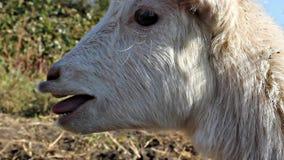 Gritos brancos novos da cabra filme